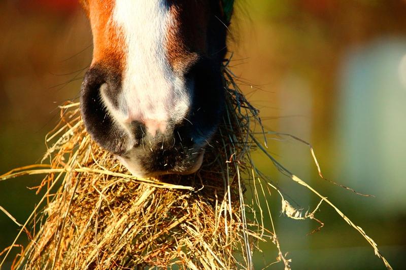 alimentar a un caballo